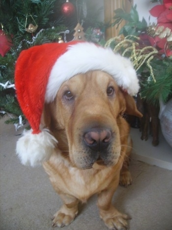 Samson the Ba-Shar sitting on a carpet wearing a Santa hat