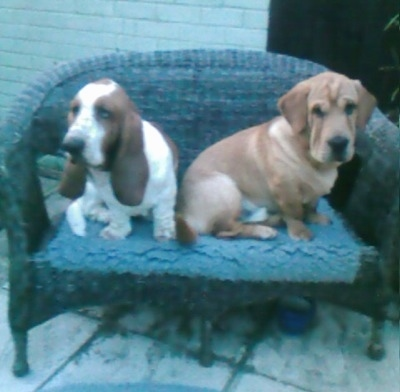 A brown with white Ba-Shar(right) and a brown and white Basset Hound(left) are sitting on a wicker love seat.