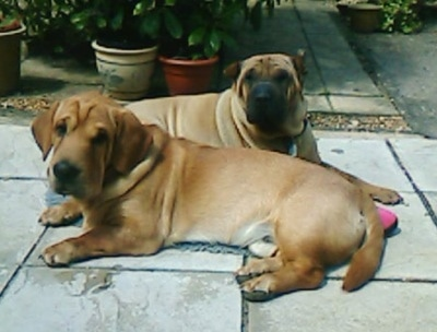 The left side of a brown with white Ba-Shar(front) and the right side of a tan with black Shar-Pei(behind) are laying on a walkway in front of a house. They both are lookign forward.