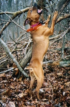 The right side of a brown Barger Stock Feist Dog that is wearing a red bandana. It is standing up on its hind legs, trying to catch an animal which is up a tree
