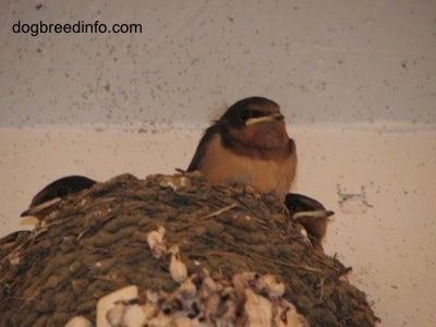 Barn Swallow babies inside of a nest