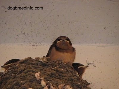 Close Up - Barn Swallow Babies inside of a nest
