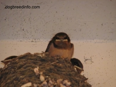 Close Up - Three Barn Swallow Babies inside of a nest