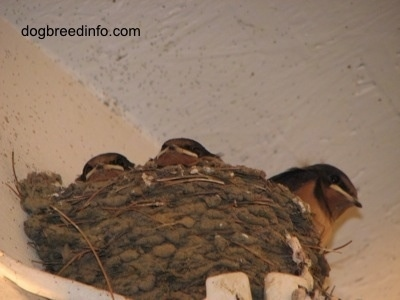 Three Barn Swallow Babies looking to the outside of the nests