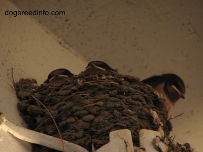 Three Barn Swallow Babies inside of the  nests peering over the top