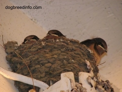 The Barn Swallows sit inside of the nest. Looking, but not moving