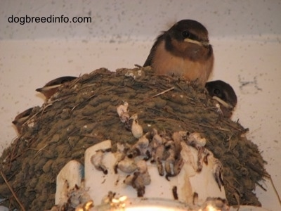 Three Barn Swallow babies looking over the edge of there nests