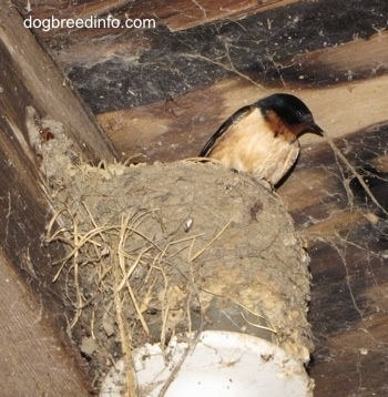 Barn Swallow sitting in its nest, which was built on a light fixture