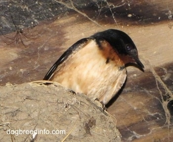 Close Up - Barn Swallow sitting in its nest, which was built on a light fixture