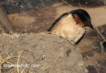 Close Up - Barn Swallow sitting in its nest