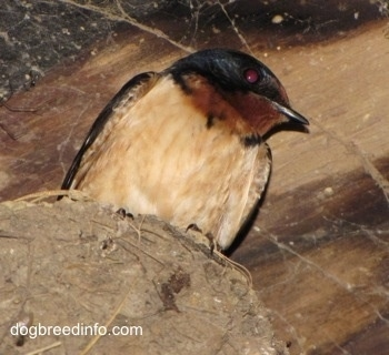 Close Up - Barn Swallow lookingover the edge of its nest