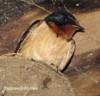 Close Up - Barn Swallow in its nest with spider webs in the background