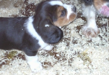 Close Up - Eight-week-old Basselier puppies walking on wood chips