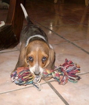 Bambi the Basset Norman puppy walking on a tiled floor with a rope toy in her mouth