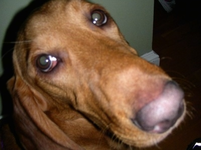Close Up - A brown Basset Retrievers face.