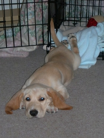 golden retriever mix puppies. Wally a Basset/Golden puppy at