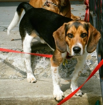 Beagle dog Looking