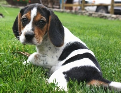 Shooter the Beagle puppy laying outside in the grass looking back at the camera holder