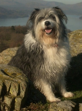 Close Up - Meg the Bearded Collie sitting in the middle of large rocks with water in the background