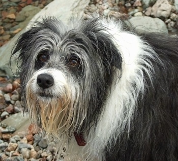 Close Up - Meg the Bearded Collie looking into the distance