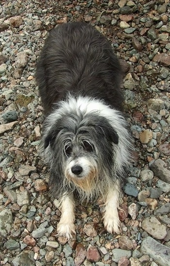 Meg the Bearded Collie standing on river stones play bowing