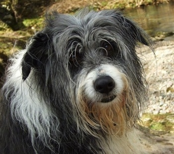 Close Up - Meg the Bearded Collie looking at the camera holder with water in the background