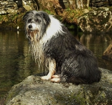 Meg the Bearded Collie sitting on a large rock in front of water
