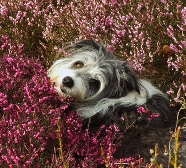 Meg the Bearded Collie laying in a field of flowers