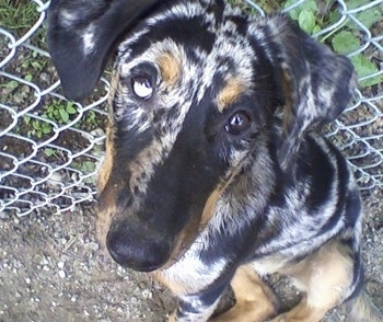 Serra, the harlequin Beauceron puppy with natural ears.