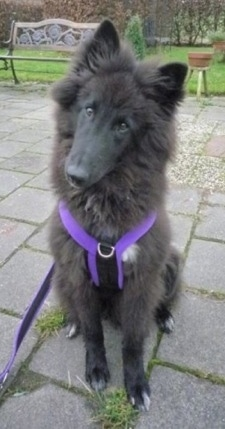 A black with white Belgian Sheepdog is sitting on a stone walkway, it is looking forward and its head is slightly tilted to the right.
