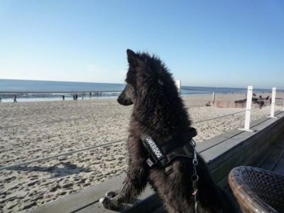 The back left side of a black with white Belgian Sheepdog that is standing up against the railings of a wooden platform, it is looking at the water at the end of the beach.