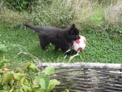 The right side of a black Belgian Sheepdog puppy that is playing with a ball outside in a field.