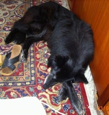 Topdown view of a black belgian Sheepdog that is laying down on a carpet, next to a flip flop.