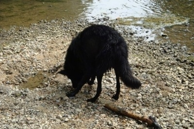 The back left side of a wet black belgian Sheepdog that is sniffing the ground behind a small body of water.