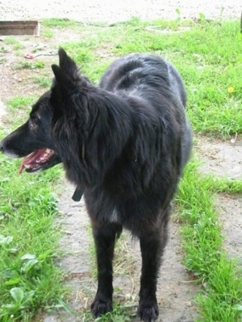 A black Belgian Sheepdog is standing on a walkway, it is looking to the left, its mouth is open and its tongue is hanging out.