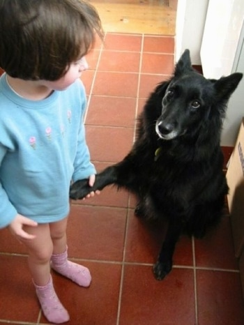 The front left side of a black Belgian Sheepdog that is sitting in a kitch nect to a little girl. The Sheepdog has given its paw to the little girl to hold.