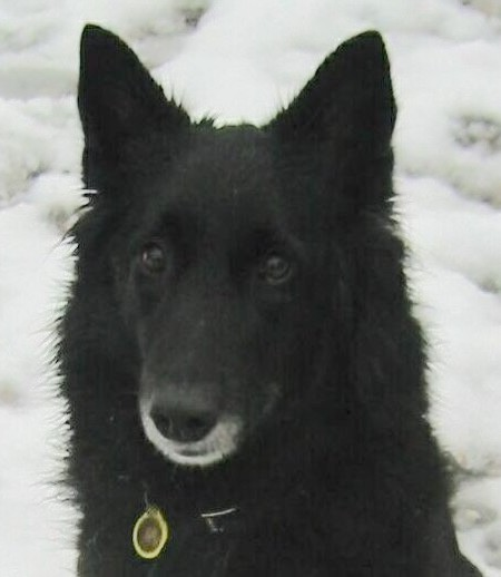 Close up - A black Belgian Sheepdog is sitting in snow and it is lookign forward.