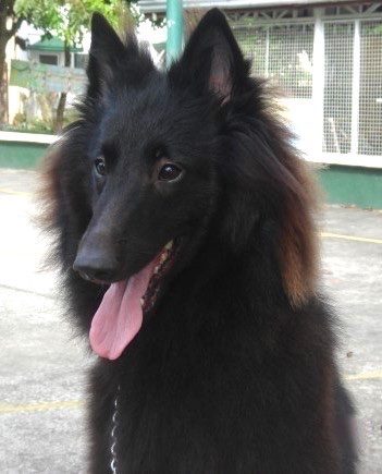 Close up - The front left side of a black Belgian Sheepdog that is sitting on a concrete surface, it is looking to the left, its mouth is open and its tongue is sticking out.