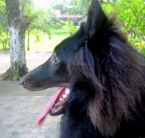 Close up - A black Belgian Sheepdog is siting at a park, it is looking to the left, its mouth is open and its tongue is out.