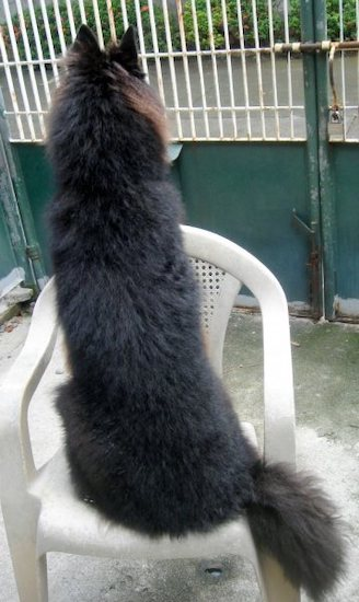 The back of a black Belgian Sheepdog that is sitting on a plastic chair and it is looking over the back.