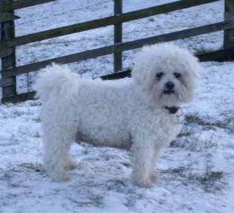 Muffin the Bichon Frise standing outside in the snow