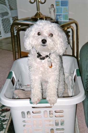 A curly-coated white Bichon Frise dog is standing on the side of a plastic white basket and it is looking forward.