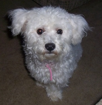 Callie the Bichon Frise sitting on carpet looking up at the camera holder