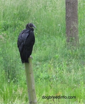 Black Vulture sitting on top of a fence post across from another tree