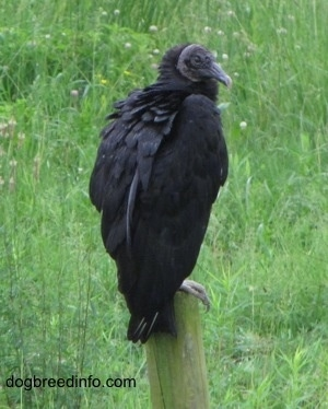 Black Vulture not leaving the tree stomp