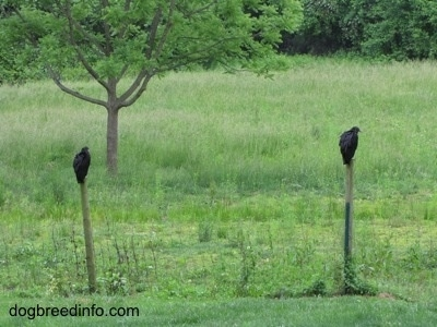 Two Black Vultures perched on fence posts over looking a field