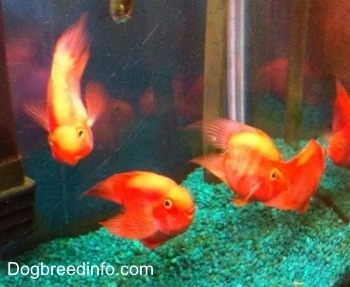 Four Blood Parrots are swimming towards the top of a fish tank