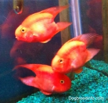 Blood parrot fresh water fish information and pictures for Parrot fish facts