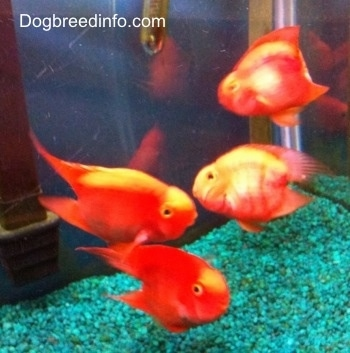 Blood parrot fresh water fish information and pictures for Freshwater fish facts