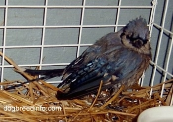 Blue Jay inside of a cage looking at the camera holder